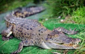 crocodile1_www.rai77.ru
